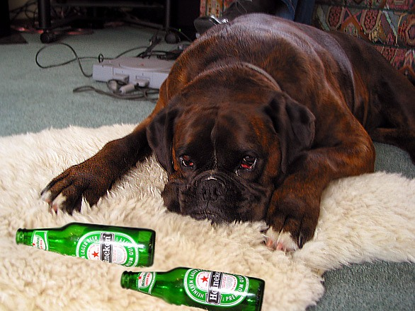 Собака на овечьей шкуре с бутылками из-под пива