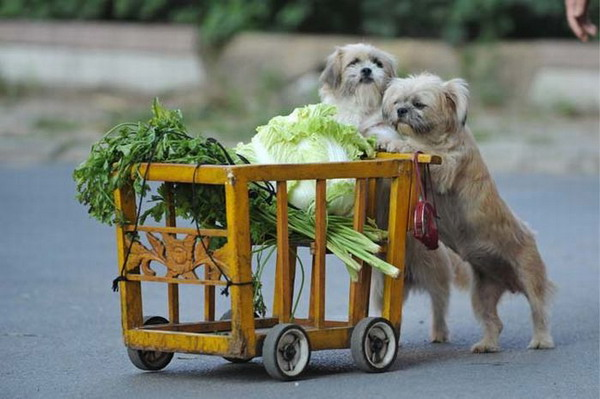 Две собаки везут тележку с продуктами