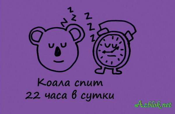 Коала спит 22 часа в сутки